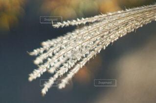 キラキラと輝くススキの写真・画像素材[4464751]