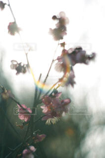 逆光の梅の花の写真・画像素材[4468945]