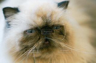 カメラを見つめるぶさかわ猫の写真・画像素材[4493391]