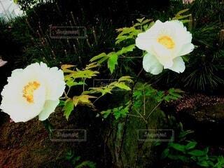 庭のボタンの写真・画像素材[4460878]