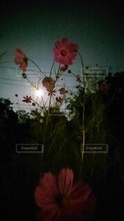自然,風景,空,花,秋,屋内,コスモス,月,満月,秋桜,草木,中秋の名月