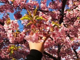 花,春,桜,樹木,人物,人,草木,スプリング,さくら,ブロッサム