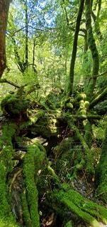 苔むす森の写真・画像素材[4539750]