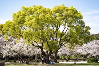 公園の大きな木の写真・画像素材[4466336]