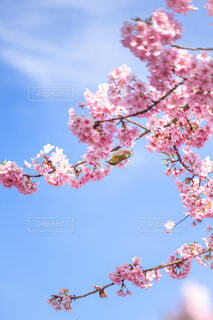 木の上のピンクの花のグループの写真・画像素材[4466358]