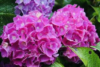 植物の紫色の花のクローズアップの写真・画像素材[4560998]