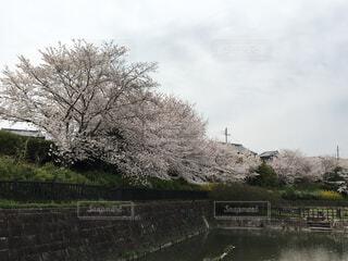 自然,空,花,春,桜,屋外,湖,水面,樹木,さくら