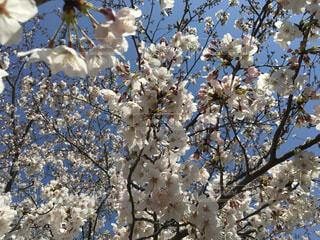 花,春,屋外,青い空,花見,景色,樹木,草木,桜の花,さくら,ブロッサム