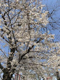 空,花,春,屋外,花見,樹木,草木,桜の花,さくら,ブロッサム