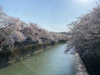 自然,空,花,春,桜,屋外,湖,川,水面,花見,樹木,お花見,横浜,ブロッサム,大岡川