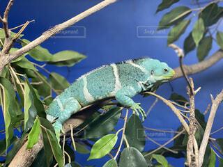 動物,屋外,樹木,オーストラリア,カエル,トカゲ,爬虫類,両生類,カメレオン,草木,ケアンズ,支店