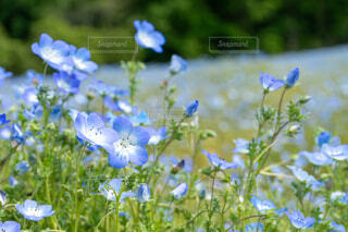 自然,花,春,植物,かわいい,きれい,癒し,ネモフィラ,初夏