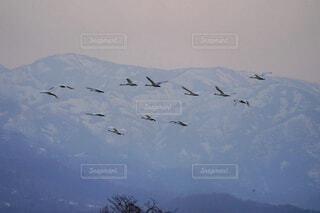 空を飛んでいる白鳥の写真・画像素材[4468977]