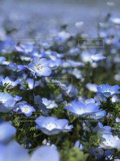 花,春,ネモフィラ,草木,ブルーム,フローラ
