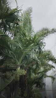 自然,夏,雲,沖縄,樹木,風,ヤシの木,那覇,天気,くもり,台風,天候,草木,恐怖,パーム,揺れ,台風前,風雨,ヤシ目,台風6号