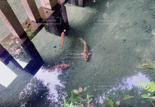 綺麗な池の中の錦鯉の写真・画像素材[4468423]