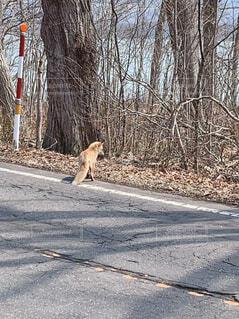 動物,屋外,道路,樹木,キツネ,狐,通り