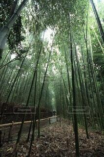 自然,森林,屋外,緑,樹木,竹,竹林,雨上がり,散歩道,草木