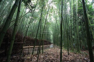自然,屋外,緑,樹木,竹,竹林,雨上がり,散歩道,草木