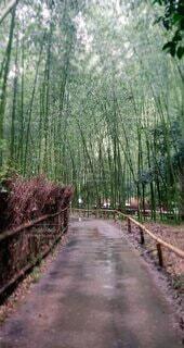 自然,屋外,緑,樹木,竹,竹林,地面,雨上がり,散歩道,草木