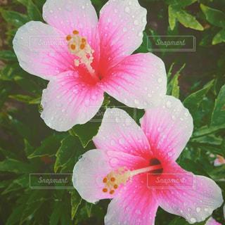 植物にピンクの花の写真・画像素材[874366]