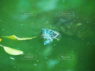 動物,緑,水面,カメ,爬虫類,亀