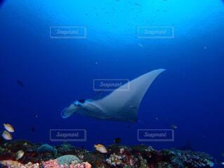 海,動物,魚,水族館,水面,葉,泳ぐ,水中,サメ,ダイビング,海獣,クジラ,スケート,フィン,アカエイ,スキューバ ダイビング,シュノーケ リング,海洋生物学,マンタ、石垣島、西表島、ダイビング、スキューバダイビング