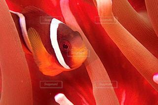 魚,赤,水族館,オレンジ,クマノミ,静岡,IOP
