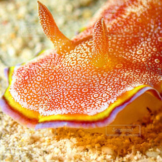 動物,魚,沖縄,水中,ダイビング,ウミウシ,ゴリラチョップ,海洋無脊椎動物,生命体