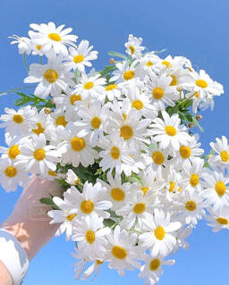 空,花,春,青空,デイジー,装飾,草木,カモミール,かもめ,フランスギク