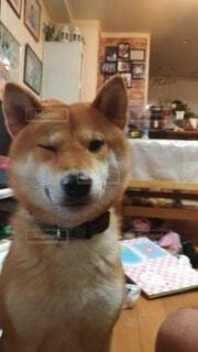 ウインクする柴犬の写真・画像素材[4487119]