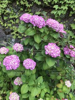 風景,花,雨,屋外,ピンク,景色,紫陽花,梅雨,草木,ガーデン