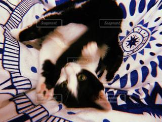 カメラを見ている猫の写真・画像素材[1001357]