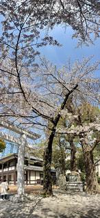 空,花,桜,屋外,ピンク,太陽,青空,鳥居,景色,樹木,草木,そり立つ