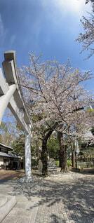 空,花,桜,屋外,太陽,静か,青空,鳥居,樹木,朝