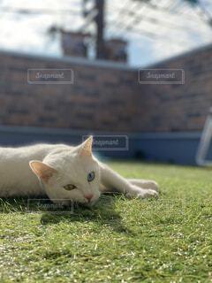 猫,動物,屋外,白,景色,オレンジ,草,天気,昼間,日向ぼっこ