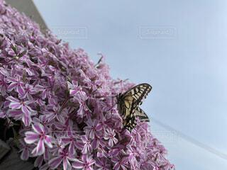 花,動物,芝桜,昆虫,蝶,草木,一休み,アゲハ蝶,蛾や蝶
