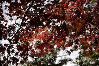秋,紅葉,屋外,葉,季節,樹木,草木,先取り,ガムの木