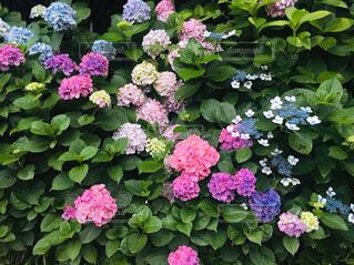 花,屋外,バラ,紫陽花,梅雨,6月,草木,アジサイ,行,フローラ