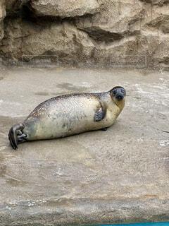 砂の中に横たわっているシールの写真・画像素材[4516774]