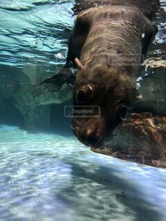 水のプールで泳ぐヒグマの写真・画像素材[4516775]