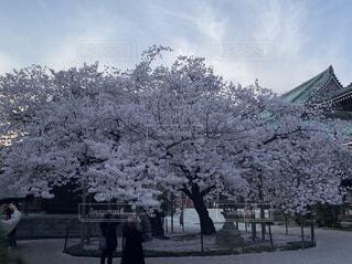 空,花,春,屋外,樹木,桜の花,さくら,ブロッサム