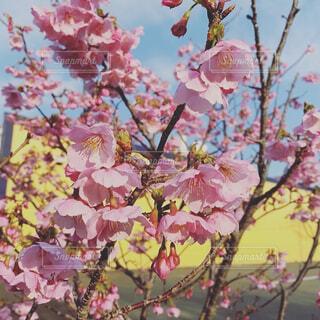 花,樹木,草木,桜の花,さくら,ブロッサム