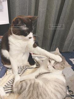 猫,動物,屋内,白,仲良し,子猫,癒し,撫でる,ネコ科