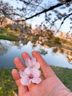 花,春,桜,カップル,屋外,綺麗,手,水面,樹木,人物,人,デート,草木,桜の花