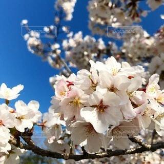 風景,花,春,桜,綺麗,青い空,花見,景色,草木,春の訪れ,スプリング,桜の花,さくら,ブルーム,ブロッサム