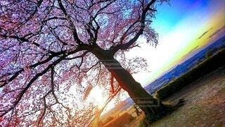 自然,風景,空,春,桜,屋外,夕焼け,樹木,サンセット,草木