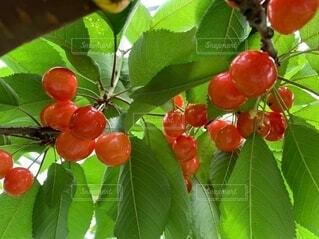 食べ物,果物,さくらんぼ,ブドウ,ベリー,梅雨,6月,草木,さくらんぼ狩り,果樹,種なしの果実