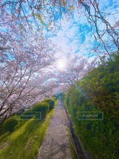 自然,空,花,桜,屋外,太陽,樹木,未来,脇道