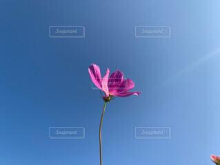 花,ピンク,コスモス,綺麗,青空,一輪,秋空